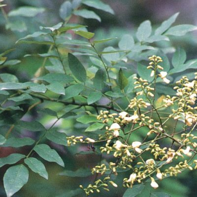 Cây hoa hòe công trình được ưa chuộng