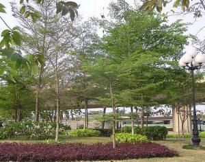 bàng-đài-loan-300x225 Cây Bàng Đài Loan