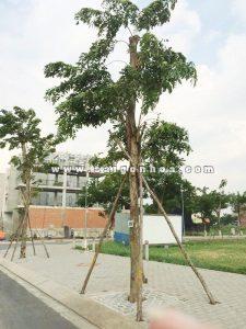 cây giáng hương công trình
