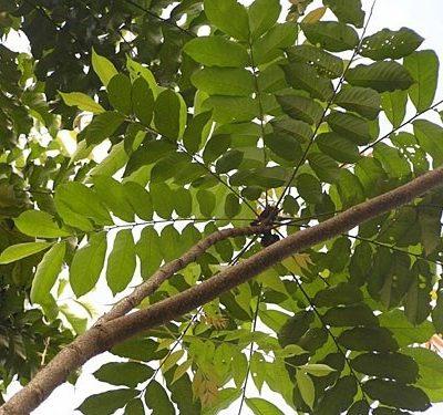 Cây Lát Hoa Công Trình