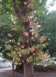 cây ngọc kỳ lân