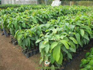 cây-dầu-rái-300x225 cây-dầu-rái