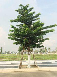 cây-giáng-hương3-225x300 Cây Giáng Hương Công Trình