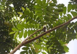 cây-lát-hoa4-300x224 Cây Lát Hoa Công Trình