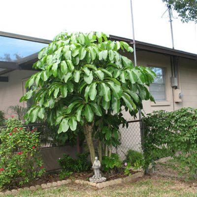 cây ngũ gia bì phong thủy