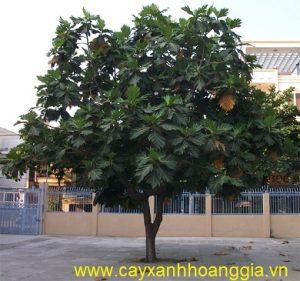 cây-sakê-công-trình4-300x281 Cây Sa Kê Công Trình
