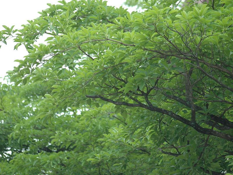Cách trồng cây chiêu liêu