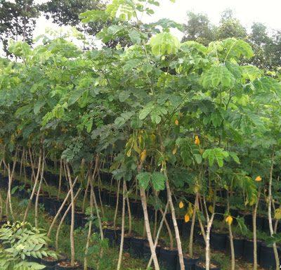 Cây Chiêu Liêu Công Trình tại Hà Nội