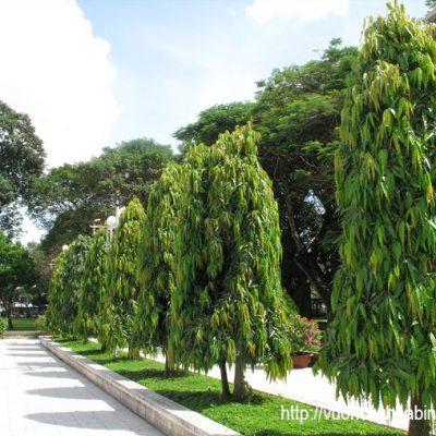 Cây Hoàng Nam Công Trình Đẹp