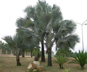 cây cọ công trình
