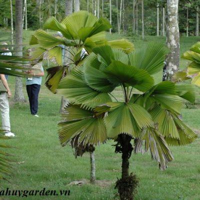 Bán cây Kè Nhật Ngoại Thất
