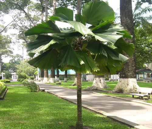 Cây-kè-nhật-ngoại-thất Bán cây Kè Nhật Ngoại Thất