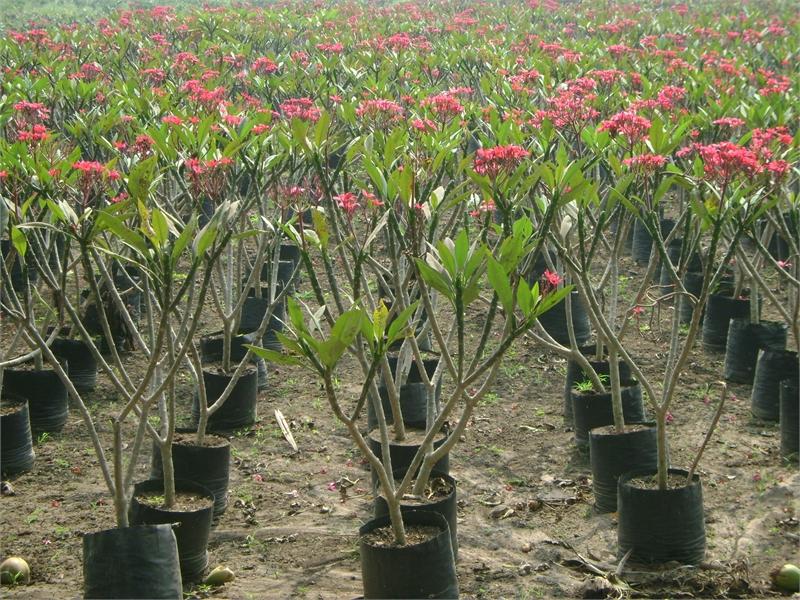 cây đại hoa đỏ
