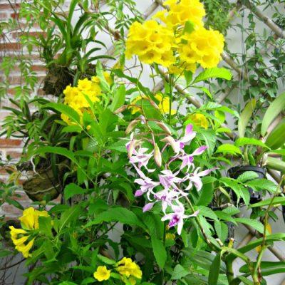 Bán cây Hoa Chuông Vàng