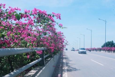 cây hoa giấy đô thị