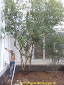 cây lựu công trình
