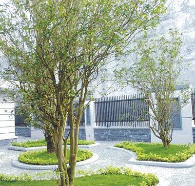 Bán cây Mộc Hương công trình
