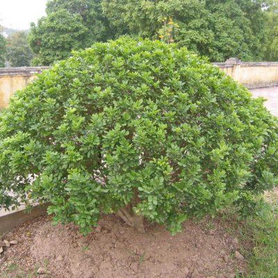 Bán cây Ngâu Tròn Công Trình