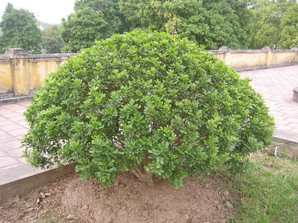 cây ngâu tròn công trình