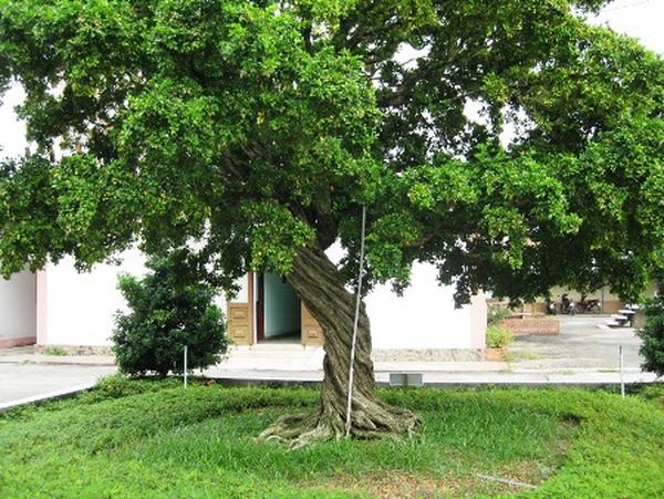 cây nguyệt quế công trình