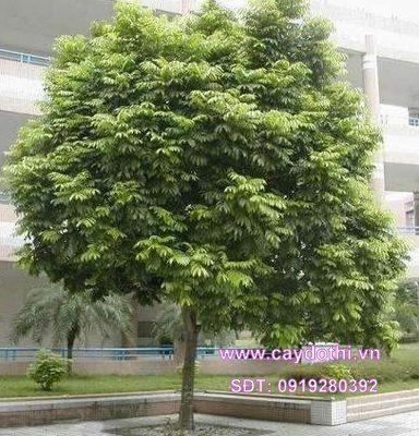 Bán cây Sấu Công Trình