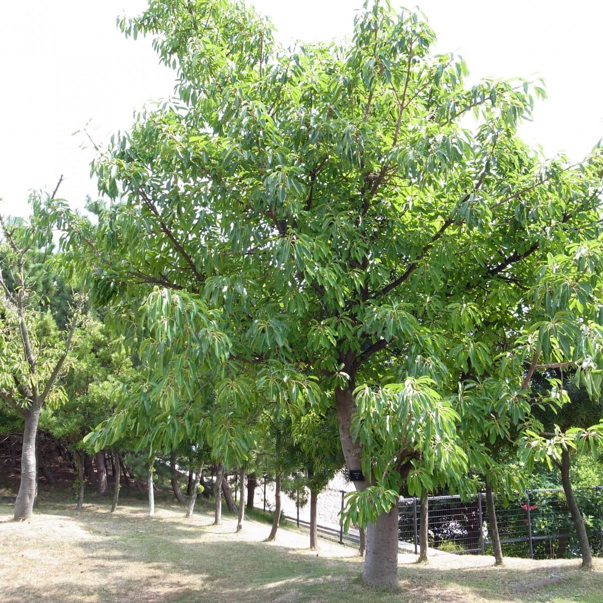 cây sộp công trình