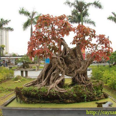 Bán cây Sộp Công Trình