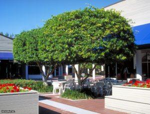 cây si công trình
