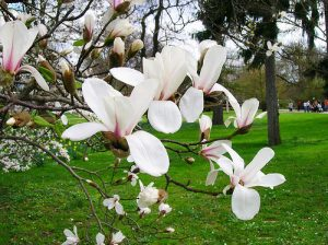 cây-ban-trắng-bóng-mát-300x226 Cây Ban Trắng Tây Bắc