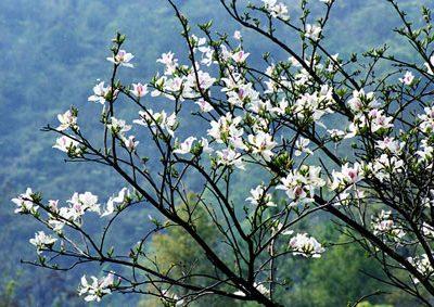 cây ban trắng tây bắc