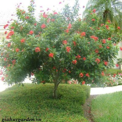 Bán cây Hồng Mai Công Trình