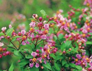 cây-hồng-mai-295x300 Bán cây Hồng Mai Công Trình