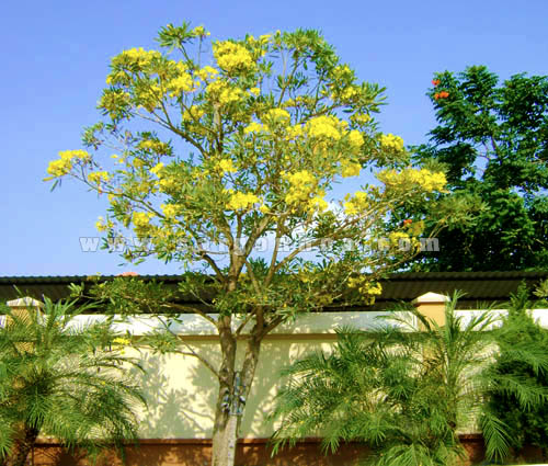 cây-hoa-chuông-vàng Bán cây Hoa Chuông Vàng