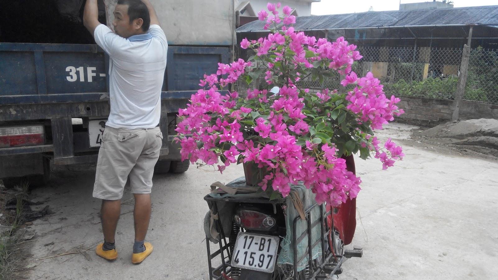 cây-hoa-giấy-đô-thị Bán Cây Hoa Giấy Đô Thị