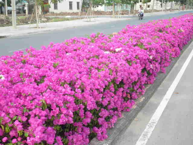 cây-hoa-giấy Bán Cây Hoa Giấy Đô Thị