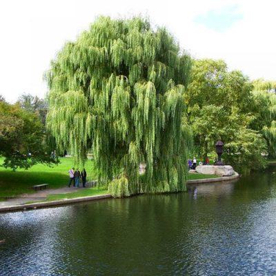 cây liễu rũ đô thị