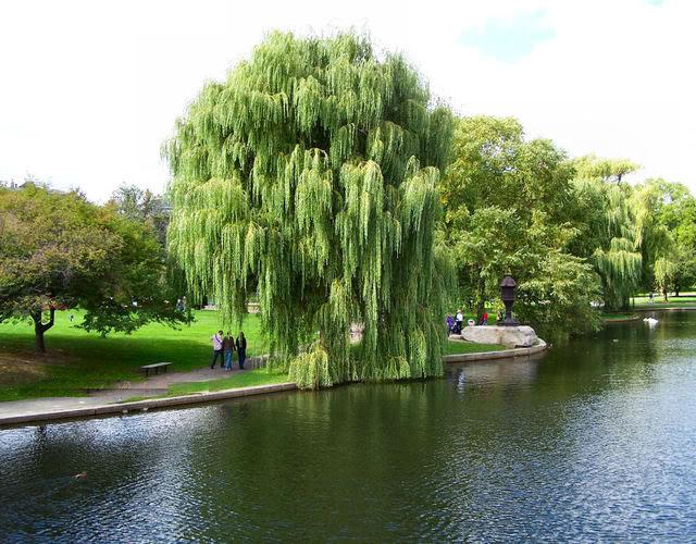 cây-liễu-rũ Bán Cây Liễu Rũ đô thị