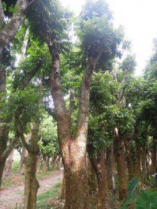 cây-sấu-công-trình-225x300 cây sấu công trình