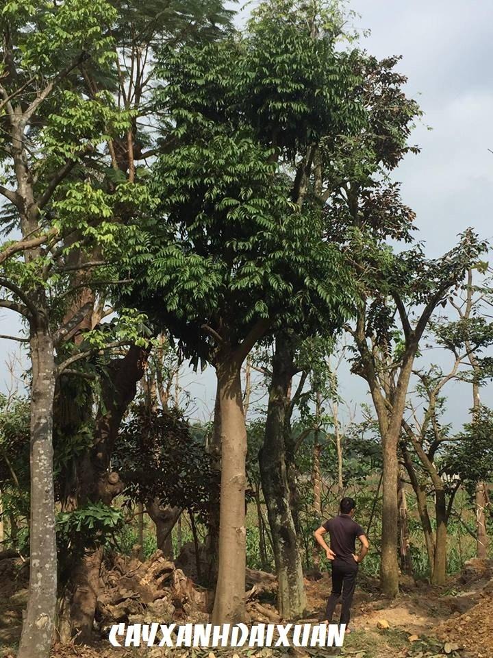 cây-sấu-công-trình Bán cây Sấu Công Trình