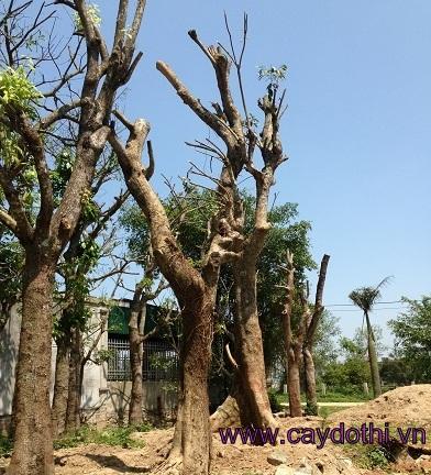 cây-sang-đô-thị3 Bán Cây Sang Đô Thị