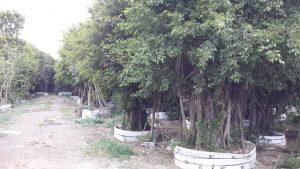cây-si-công-trình4-300x259 Bán Cây Si Công Trình