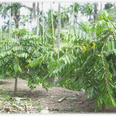 Bán cây Hoàng Lan