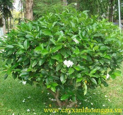 Cây Hoa Ngọc Bút – mua bán cây trồng giá rẻ Hà Nội