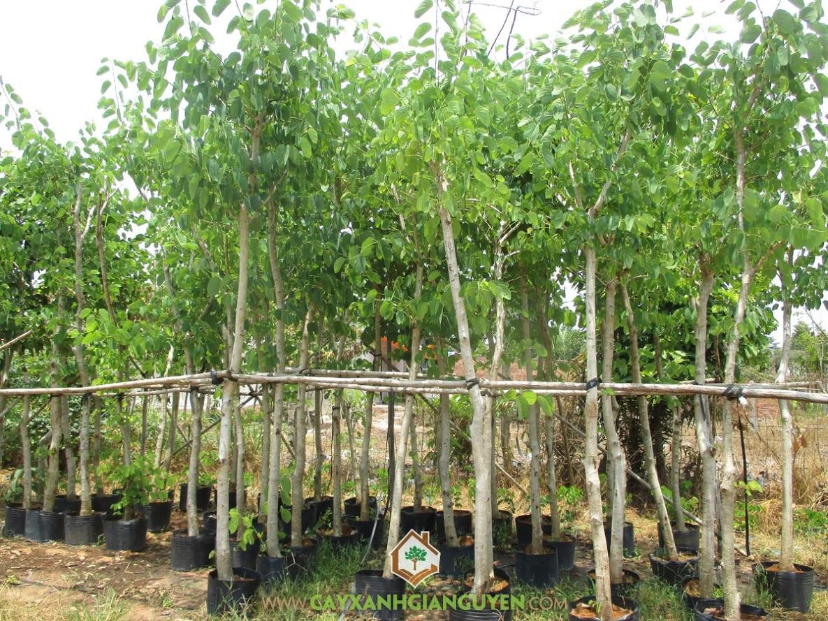 cách trồng móng bò tím