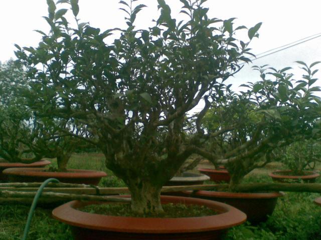 cây chè cảnh