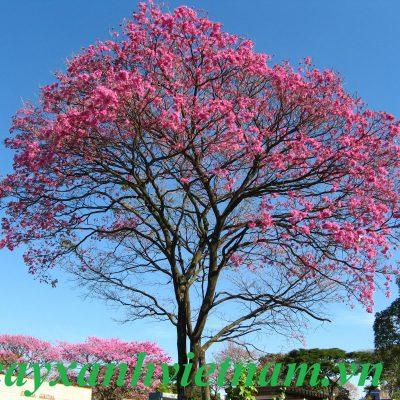 Cây Chuông Hồng(Kèn Hồng)  – Vườn Cây Hòa Bình