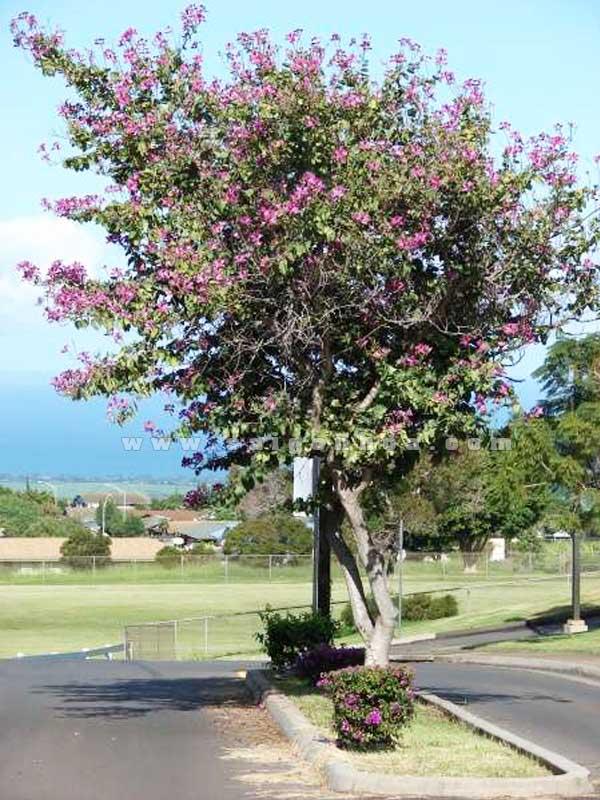 cây móng bò tím