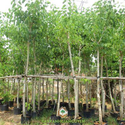 Cây Móng Bò Tím – Mua,bán cây trồng giá rẻ Hà Nội