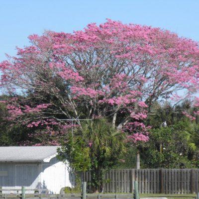 Cây Chuông Hồng