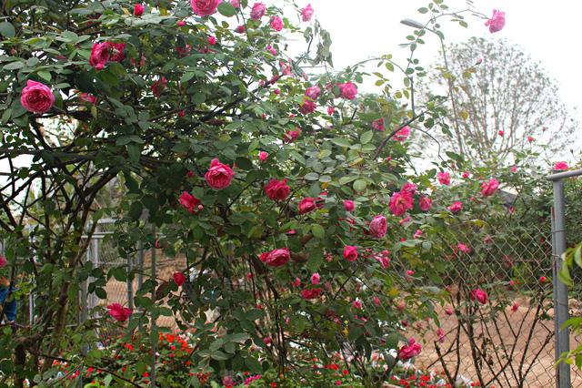 cây-hồng-cổ-sapa4 Bán Cây Hồng Cổ Sapa giá rẻ
